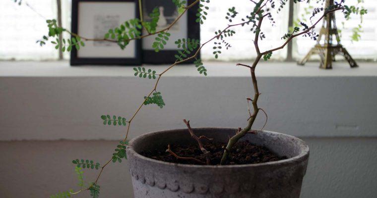 Sophora en trixig växt att lyckas med