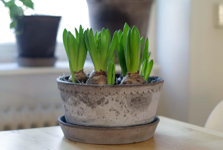 Planteringstips hyacinter