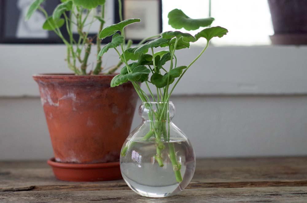 växtfix med pelargoner