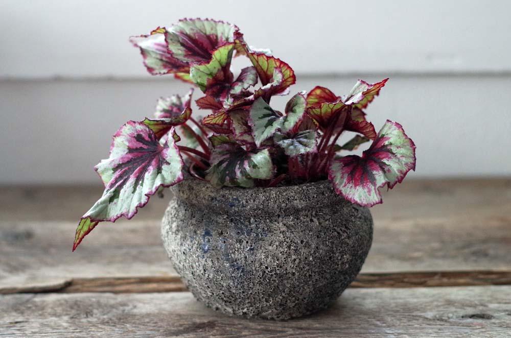 Begoniaspecial