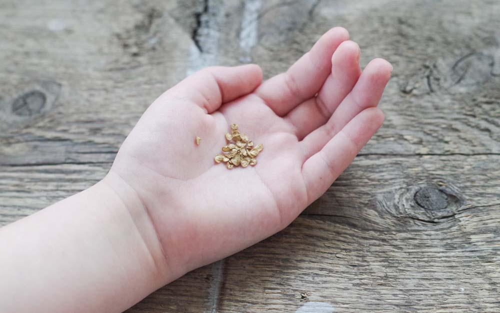 Odla paprika från frö