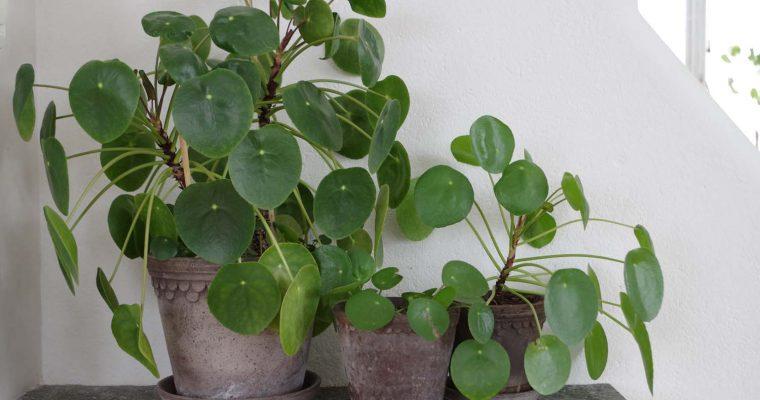 Planteringstips Elefantöra