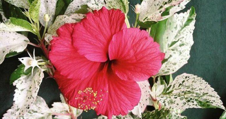Mitt senaste växtköp: Hibiscus Snow queen